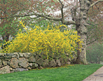 Old Maple and Forsythia in Spring near Stonewall with Light Fog