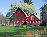 Red Barns in Spring with Apple Tree in Blossom