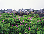 Wild Roses (Rosa rugosa) with Cottages and Piers in Background, Criehaven Harbor, Ragged Island
