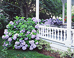 Blue Hydrangeas in Bloom along Railing of Front Porch, Martha's Vineyard