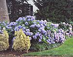 Blue Hydrangeas in Bloom in Front Yard Garden, Martha's Vineyard