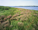 Sea lavender (Limonium spp.) and Glasswort (Salicornia spp.) on Waters' Edge, Lake Montauk, Long Island, East Hampton, NY