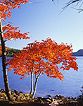 Closeup of Red Maples in Early Morning Light at Eagle Lake in Fall, Acadia National Park, Mt. Desert Island