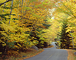 Yellow Fall Foliage along Entrance Road to Echo Lake, Acadia National Park, Mt. Desert Island