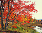 Red Maple in Fall at Edge of New Mill Meadow (Marsh) and Duck Brook, Acadia National Park, Mt. Desert Island