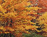 Brilliant Fall Foliage of Red Maples, Acadia National Park, Mt. Desert Island