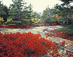 Brilliant Red of Huckleberries in Fall Foliage with Granite Stone, Spruce Trees and White Pines, Acadia National Park, Mt. Desert Island