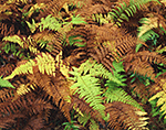Closeup of Hayscented Ferns in Fall