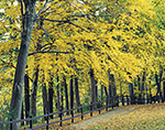 Black Birch Trees with Fall Foliage and Wooden Fence along Walkway at Walden Pond, Walden Pond State Reservation