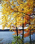 Red Maple and Black Birch Trees with Fall Foliage at Walden Pond, Walden Pond State Reservation