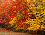 Maples in Fall Foliage at Edge of Meadow, Mt. Desert Island