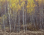 Dried Goldenrods and Birch Trees in Fall