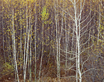 Birch Tree Trunks and Delicate Leaves in Fall