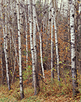 Quaking Aspen Tree Trunks in Fall