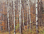 Quaking Aspen Tree Trunks in Fall