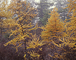 Tamarack Trees in Fall with Light Fog, Quabbin Reservation