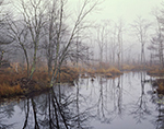 Red Maple Swamp, Marsh and Beaver Lodge in Fog, Quabbin Reservation