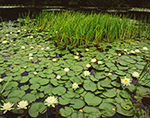 Fragrant Water Lilies (Nymphaea odorata) and Bur-reed (Sparganium spp.)