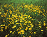 Field of Black-eyed Susans, Mohawk Valley