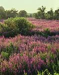Purple Loosestrife, Mine Brook Wetlands