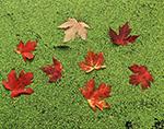 Maple Leaves and Duckweeds, Mud Creek