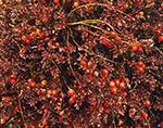 Wild Large Cranberry after Rain