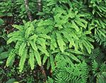 Maiden Hair and Royal Ferns, Mt. Everett Wildlife Sanctuary