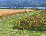 Vineyard and Cornfield in Fall with Seneca Lake in Background,  Finger Lakes Region