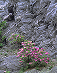 Catawba Rhododendrons and Cliff Side