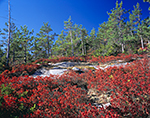 Huckleberry and Red Pines on Blueberry Mountain, White Mountains National Forest