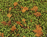 Northern White Cedar Needles and Sphagnum Moss in Cedar/Spruce Swamp