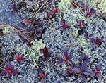 Reindeer Lichen (Cladina rangiferina) and Teaberry (Gaultheria procumbens) T1-R9