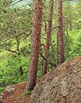 Red Pines at High Ledges, Massachusetts Audubon Sanctuary