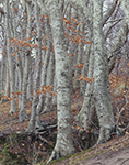 Old Beech Stand, Area of Cape Cod Museum of Natural History