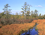 Shrub and Pitch Pine Bog with Fen, Wharton State Forest