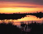 Marsh and Pocosins at Sunset on Alligator River