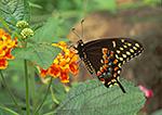 Eastern Black Swallowtail (Papilio polyxenes)