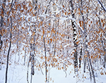Beech Forest in Winter, Green Mountain National Forest