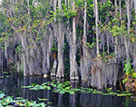 Bald Cypress Swamp with Spanish Moss and Spatterdock in Early Morning, Big Cypress National Preserve, FL