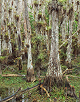 Close-up View of Bald Cypress Swamp with Air Plants (Epiphytes), Big Cypress National Preserve, FL