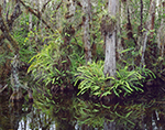 Bald Cypress Swamp with Ferns Reflecting in Water, Big Cypress National Preserve, FL
