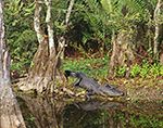 American Alligator with Reflection in Water,  Big Cypress National Preserve, FL