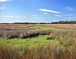 Black Needlerush (Juncus roemerianus) and Marsh at Fakahatchee Strand State Preserve