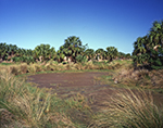 Marsh and Cabbage Palm Trees at Pelican Island National Wildlife Refuge near Indian River Lagoon (First National Wildlife Refuge est. 1903), Register National Historic Landmark