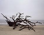 Driftwood (Live Oak Tree) on Driftwood Beach under Overcast Sky