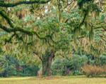 Live Oak Tree Draped with Spanish Moss at Abandoned Dairy Farm, Jekyll Island, GA