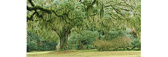 Live Oak Tree with Spanish Moss at Abandoned Dairy Farm