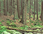 Hemlock Forest, Rutland Brook Wildlife Sanctuary, Petersham, MA