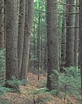 Hemlock Forest, Rutland Brook Wildlife Sanctuary, Petersham, MA