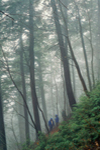 Hikers in Rain and Fog in Old Growth Forest, Mohawk Trail State Forest, Savoy, MA